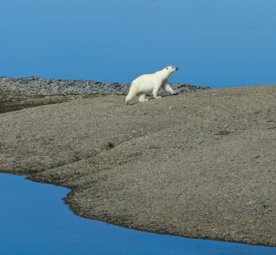 Polar_bear_on_the_Northwest_Passage_near_Arctic_Watch_Fotor.jpg
